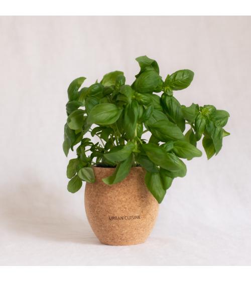 Basilic Grand Vert Bio en Pot - Urban Cuisine